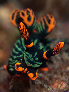 Nembrotha kubaryana, Tulamben. by Doug Anderson 